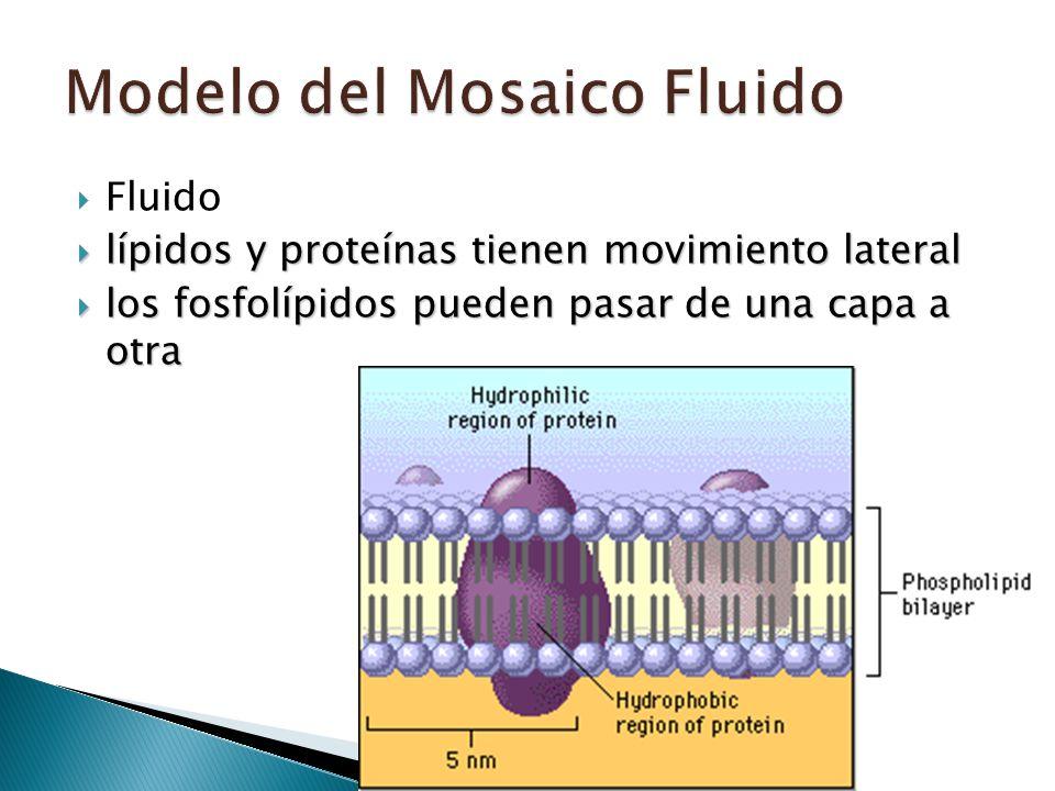 Fluido lípidos y proteínas tienen movimiento lateral lípidos y proteínas tienen movimiento lateral los fosfolípidos pueden pasar de una capa a otra lo