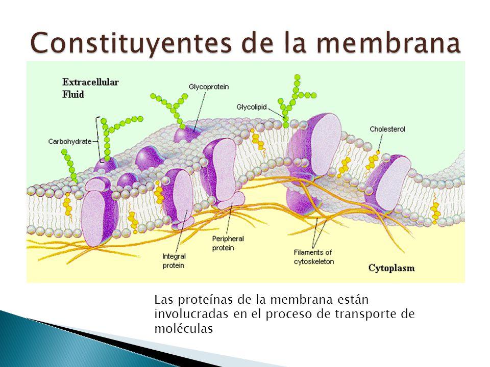 Transporte Adhesión celular Transferencia de información Enzimas
