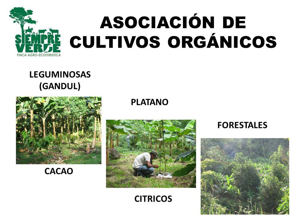 ASOCIACIÓN DE CULTIVOS ORGÁNICOS PLATANO CACAO CITRICOS LEGUMINOSAS (GANDUL) FORESTALES
