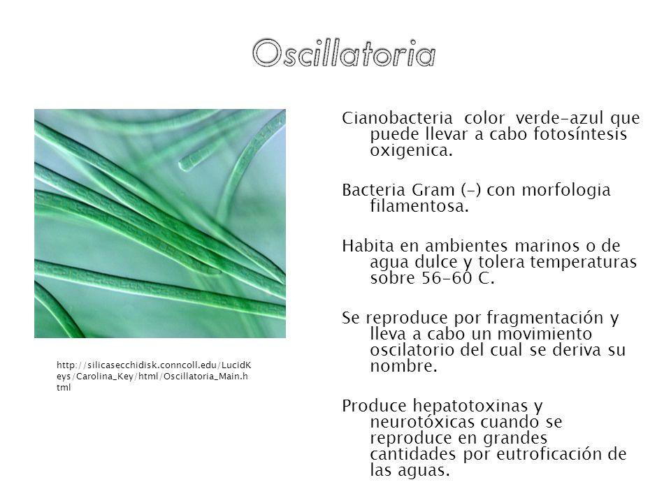 Cianobacteria color verde-azul que puede llevar a cabo fotosíntesis oxigenica. Bacteria Gram (-) con morfologia filamentosa. Habita en ambientes marin