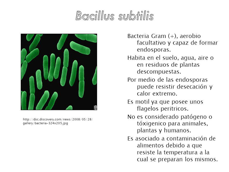 Bacteria Gram (+), aerobio facultativo y capaz de formar endosporas. Habita en el suelo, agua, aire o en residuos de plantas descompuestas. Por medio