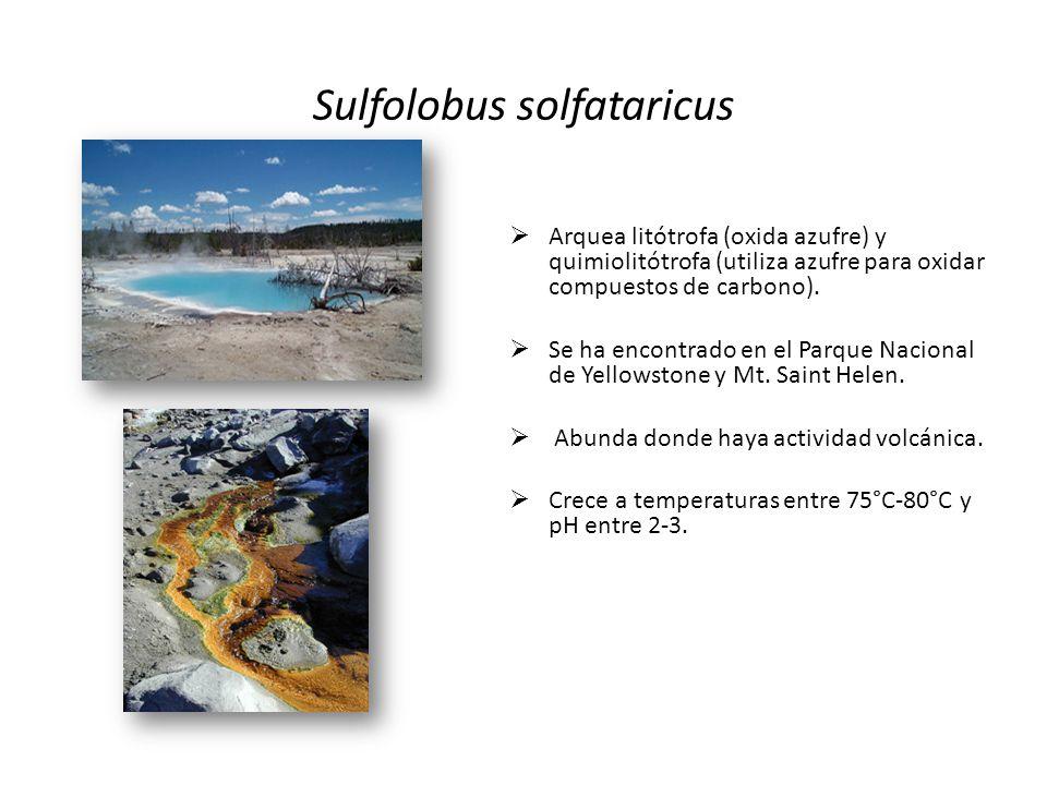 Arquea litótrofa (oxida azufre) y quimiolitótrofa (utiliza azufre para oxidar compuestos de carbono). Se ha encontrado en el Parque Nacional de Yellow