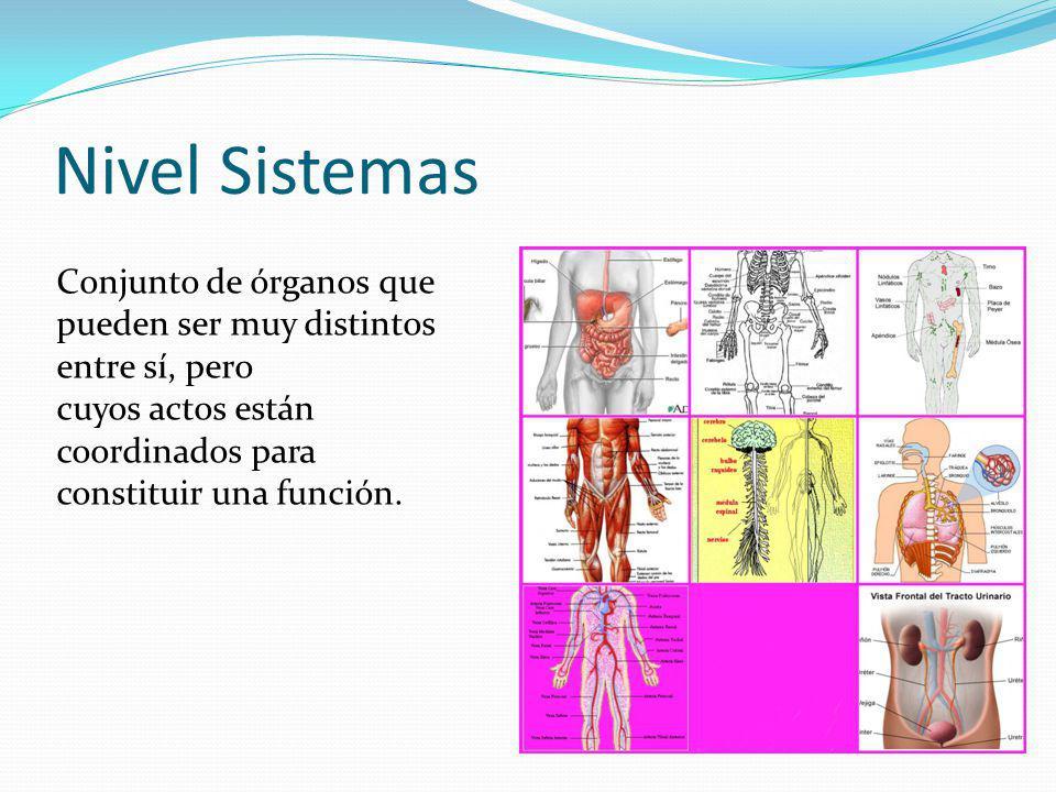 Nivel Sistemas Conjunto de órganos que pueden ser muy distintos entre sí, pero cuyos actos están coordinados para constituir una función.