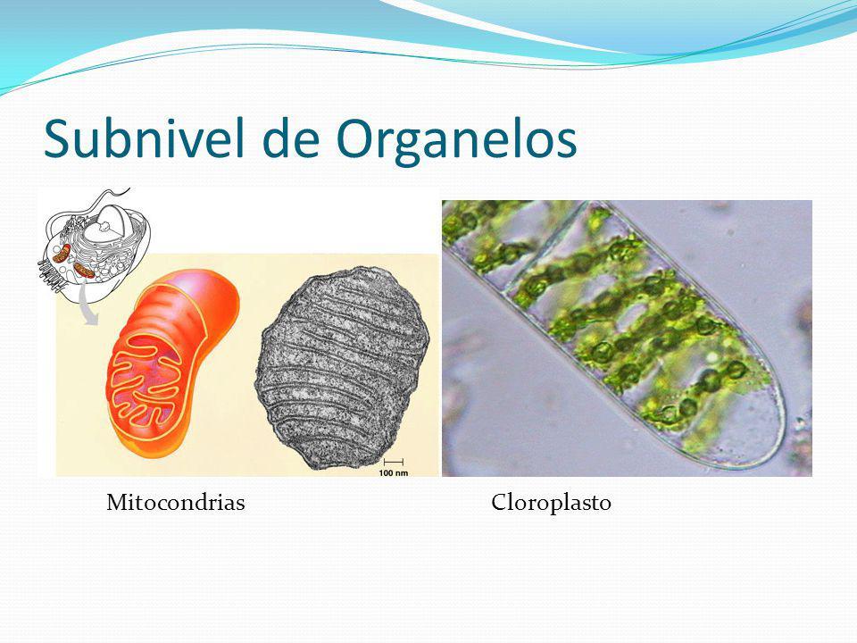 Subnivel de Organelos MitocondriasCloroplasto