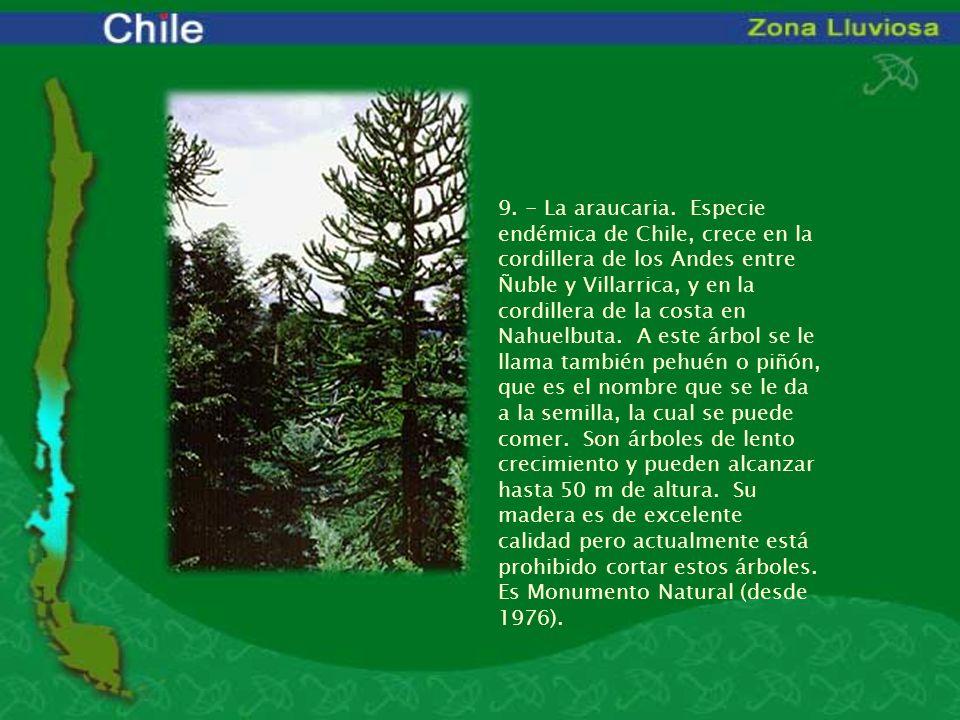 9. - La araucaria. Especie endémica de Chile, crece en la cordillera de los Andes entre Ñuble y Villarrica, y en la cordillera de la costa en Nahuelbu