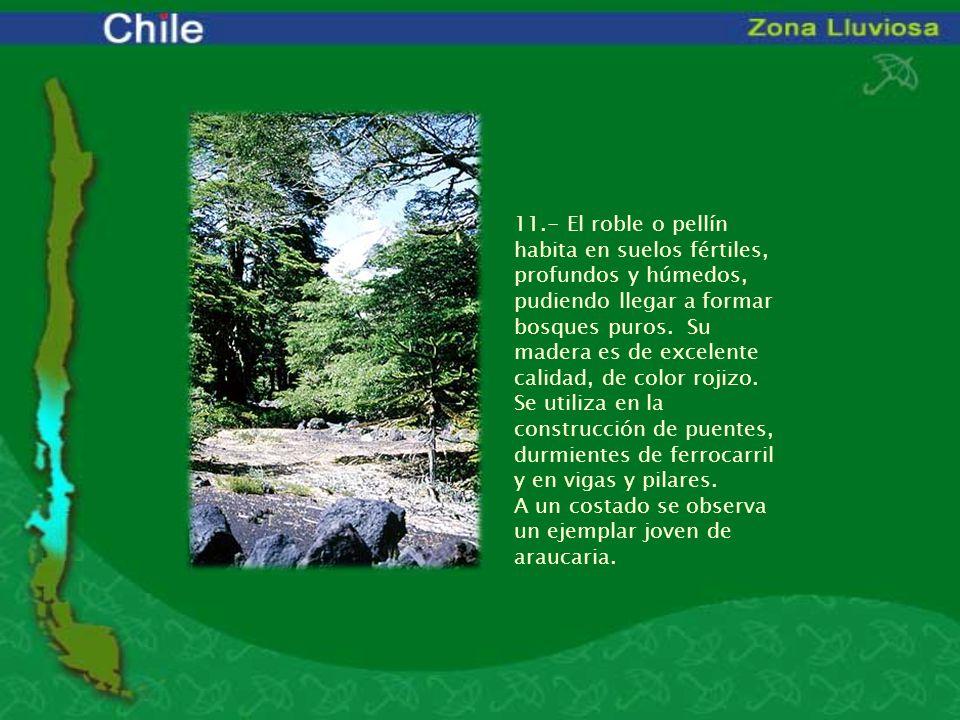 11.- El roble o pellín habita en suelos fértiles, profundos y húmedos, pudiendo llegar a formar bosques puros. Su madera es de excelente calidad, de c