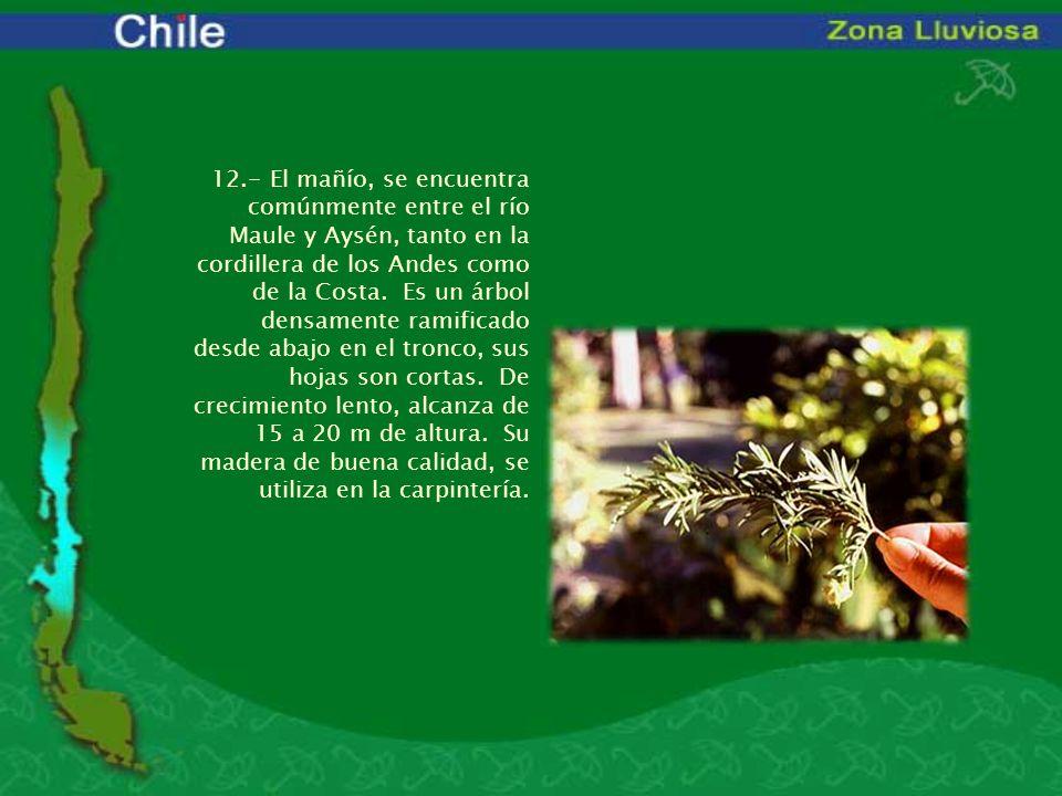 12.- El mañío, se encuentra comúnmente entre el río Maule y Aysén, tanto en la cordillera de los Andes como de la Costa. Es un árbol densamente ramifi