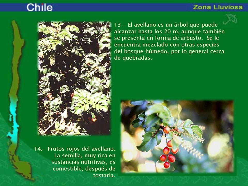 13 - El avellano es un árbol que puede alcanzar hasta los 20 m, aunque también se presenta en forma de arbusto. Se le encuentra mezclado con otras esp
