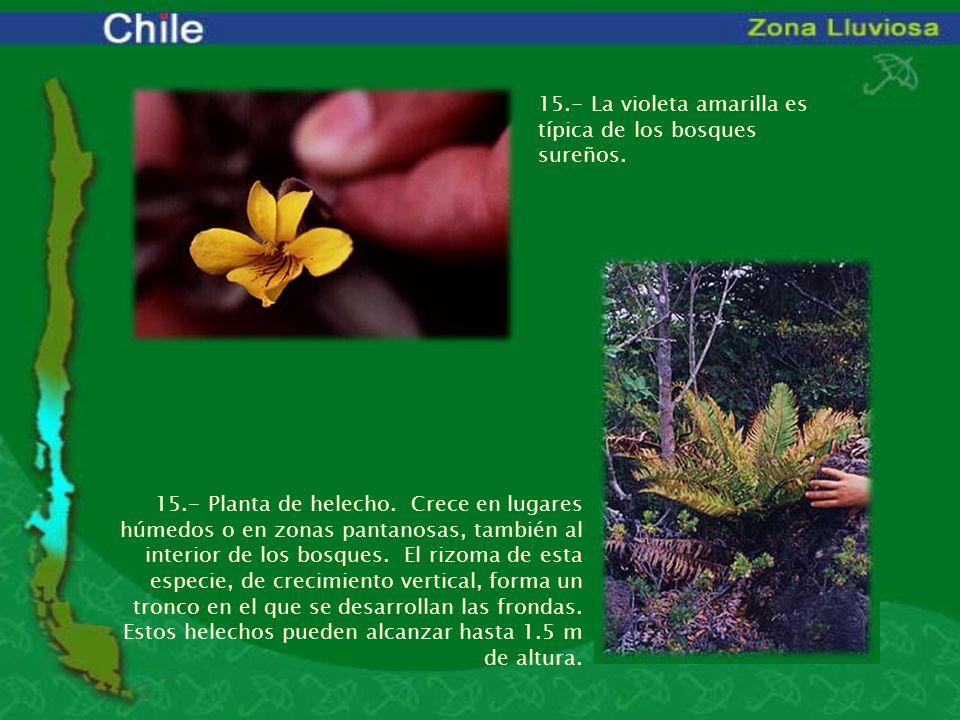 15.- La violeta amarilla es típica de los bosques sureños. 15.- Planta de helecho. Crece en lugares húmedos o en zonas pantanosas, también al interior