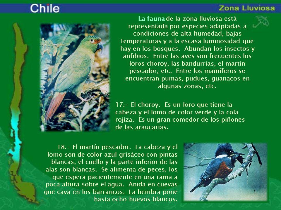 La fauna de la zona lluviosa está representada por especies adaptadas a condiciones de alta humedad, bajas temperaturas y a la escasa luminosidad que