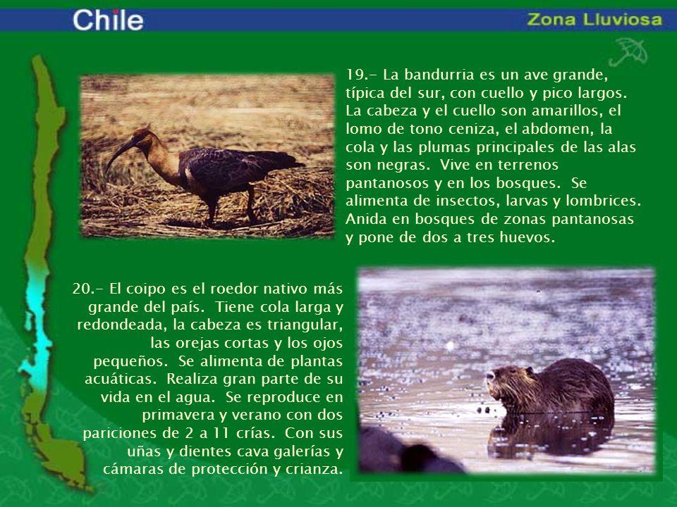 19.- La bandurria es un ave grande, típica del sur, con cuello y pico largos. La cabeza y el cuello son amarillos, el lomo de tono ceniza, el abdomen,