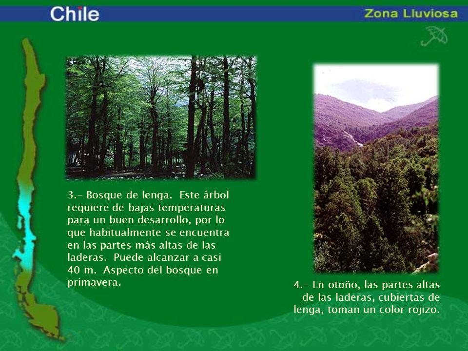 3.- Bosque de lenga. Este árbol requiere de bajas temperaturas para un buen desarrollo, por lo que habitualmente se encuentra en las partes más altas