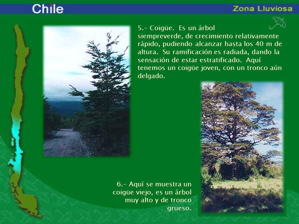 5.- Coigüe. Es un árbol siempreverde, de crecimiento relativamente rápido, pudiendo alcanzar hasta los 40 m de altura. Su ramificación es radiada, dan