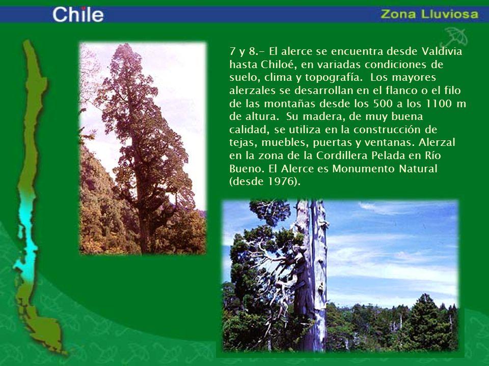 7 y 8.- El alerce se encuentra desde Valdivia hasta Chiloé, en variadas condiciones de suelo, clima y topografía. Los mayores alerzales se desarrollan