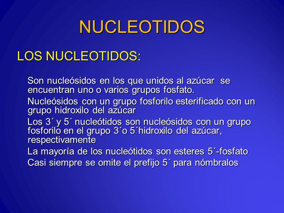 NUCLEOTIDOS LOS NUCLEOTIDOS: Son nucleósidos en los que unidos al azúcar se encuentran uno o varios grupos fosfato.