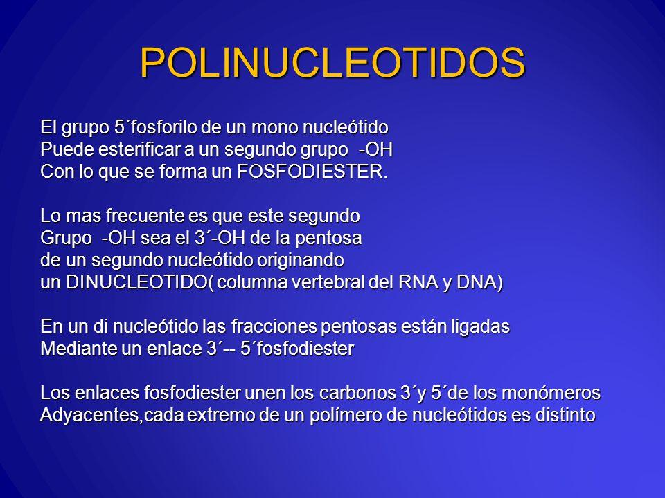 POLINUCLEOTIDOS El grupo 5´fosforilo de un mono nucleótido Puede esterificar a un segundo grupo -OH Con lo que se forma un FOSFODIESTER.