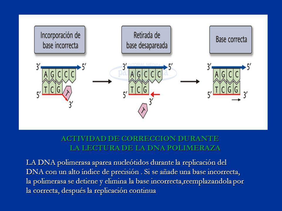 ACTIVIDAD DE CORRECCION DURANTE LA LECTURA DE LA DNA POLIMERAZA LA DNA polimerasa aparea nucleótidos durante la replicación del DNA con un alto índice