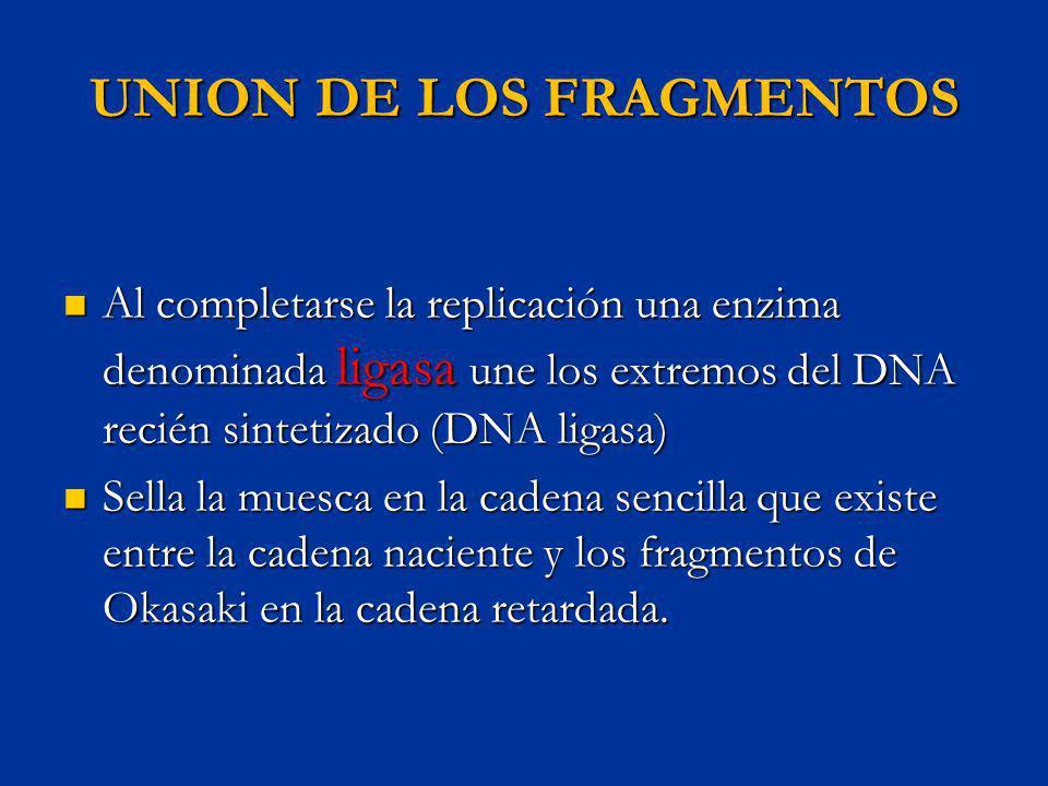 UNION DE LOS FRAGMENTOS Al completarse la replicación una enzima denominada ligasa une los extremos del DNA recién sintetizado (DNA ligasa) Al complet