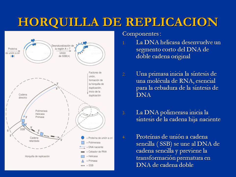 HORQUILLA DE REPLICACION Componentes : 1. La DNA helicasa desenvuelve un segmento corto del DNA de doble cadena original 2. Una primasa inicia la sínt