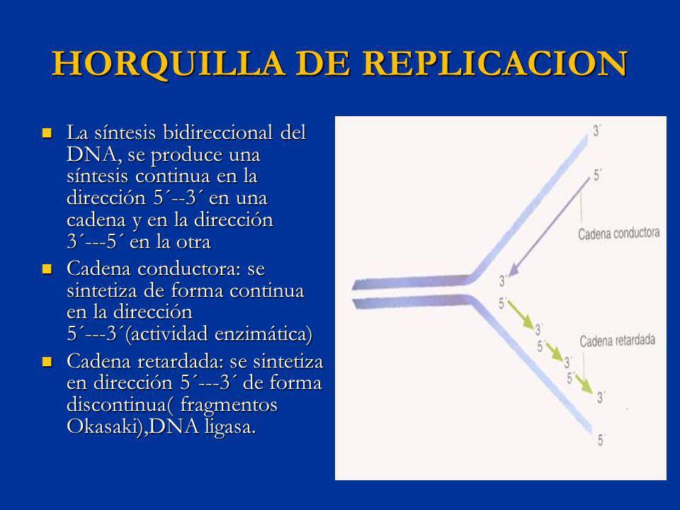 HORQUILLA DE REPLICACION La síntesis bidireccional del DNA, se produce una síntesis continua en la dirección 5´--3´ en una cadena y en la dirección 3´