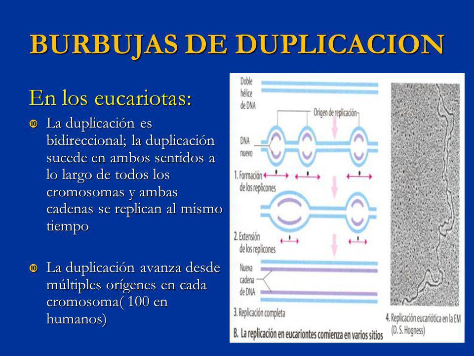 BURBUJAS DE DUPLICACION En los eucariotas: La duplicación es bidireccional; la duplicación sucede en ambos sentidos a lo largo de todos los cromosomas