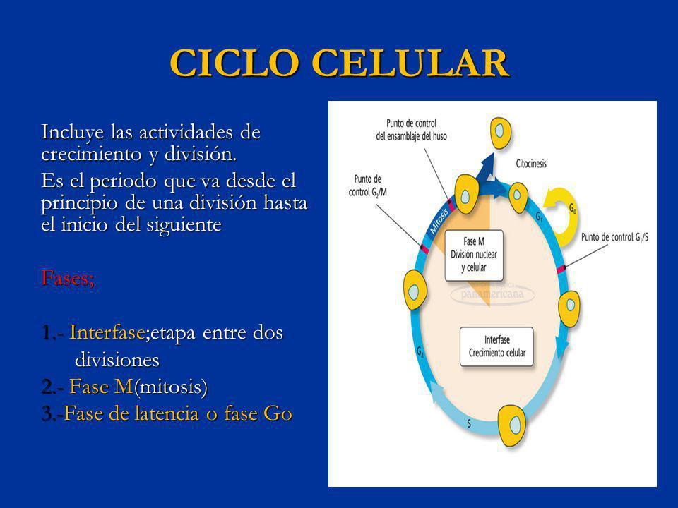 CICLO CELULAR Incluye las actividades de crecimiento y división. Es el periodo que va desde el principio de una división hasta el inicio del siguiente