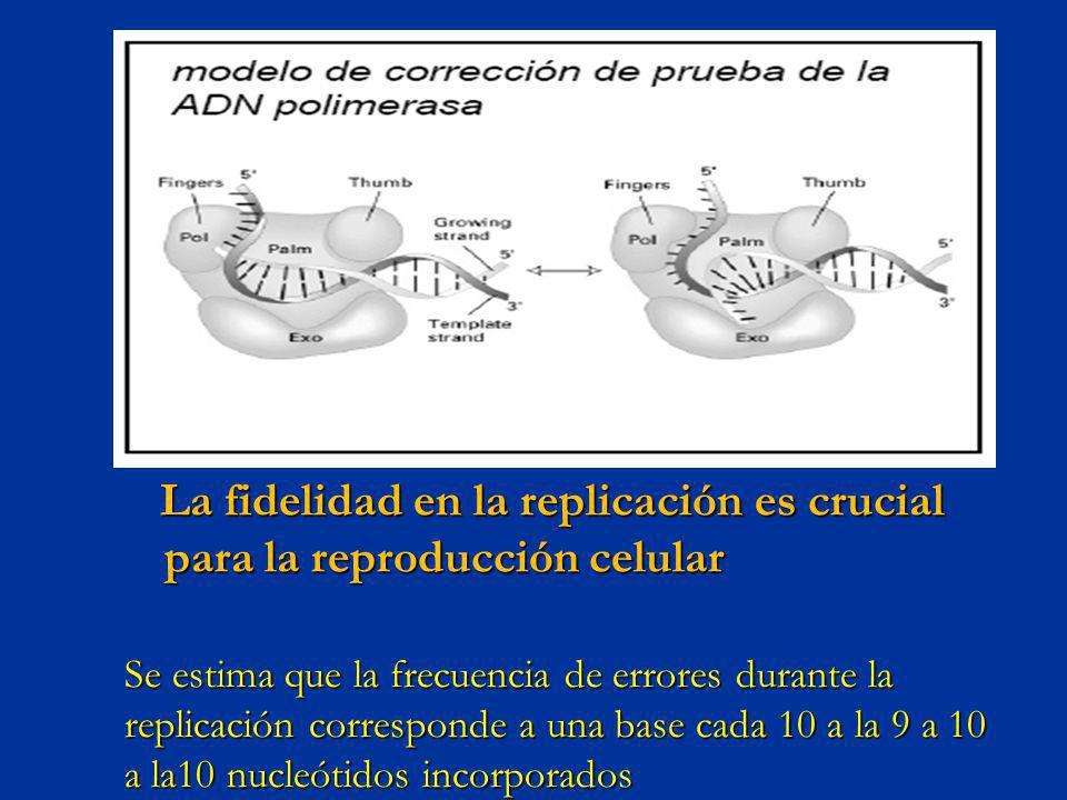 La fidelidad en la replicación es crucial para la reproducción celular La fidelidad en la replicación es crucial para la reproducción celular Se estim