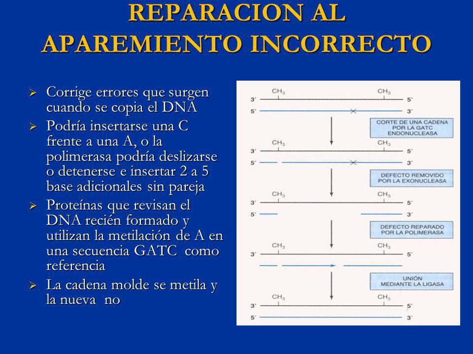 REPARACION AL APAREMIENTO INCORRECTO Corrige errores que surgen cuando se copia el DNA Corrige errores que surgen cuando se copia el DNA Podría insert