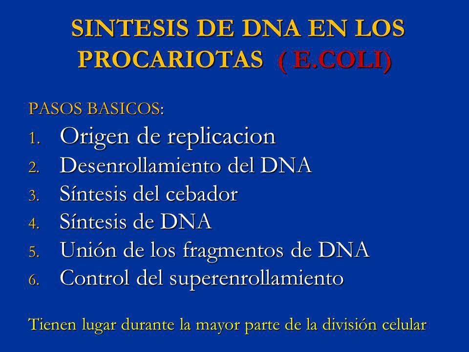 SINTESIS DE DNA EN LOS PROCARIOTAS ( E.COLI) SINTESIS DE DNA EN LOS PROCARIOTAS ( E.COLI) PASOS BASICOS: 1. Origen de replicacion 2. Desenrollamiento