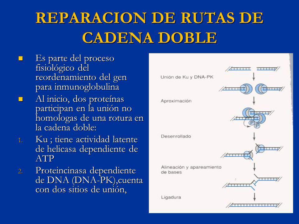 REPARACION DE RUTAS DE CADENA DOBLE Es parte del proceso fisiológico del reordenamiento del gen para inmunoglobulina Es parte del proceso fisiológico