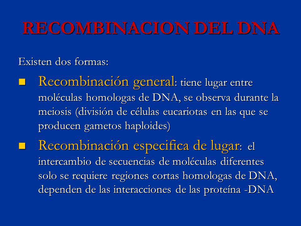 RECOMBINACION DEL DNA Existen dos formas: Recombinación general : tiene lugar entre moléculas homologas de DNA, se observa durante la meiosis (divisió