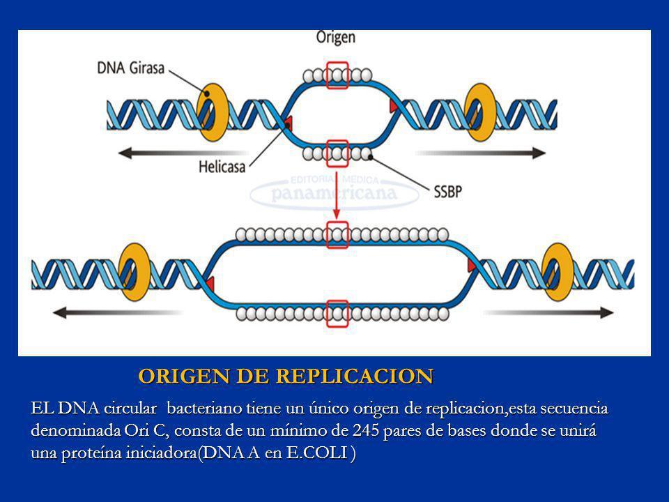 ORIGEN DE REPLICACION EL DNA circular bacteriano tiene un único origen de replicacion,esta secuencia denominada Ori C, consta de un mínimo de 245 pare