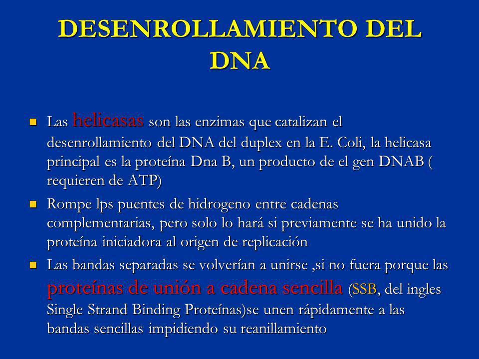 DESENROLLAMIENTO DEL DNA Las helicasas son las enzimas que catalizan el desenrollamiento del DNA del duplex en la E. Coli, la helicasa principal es la