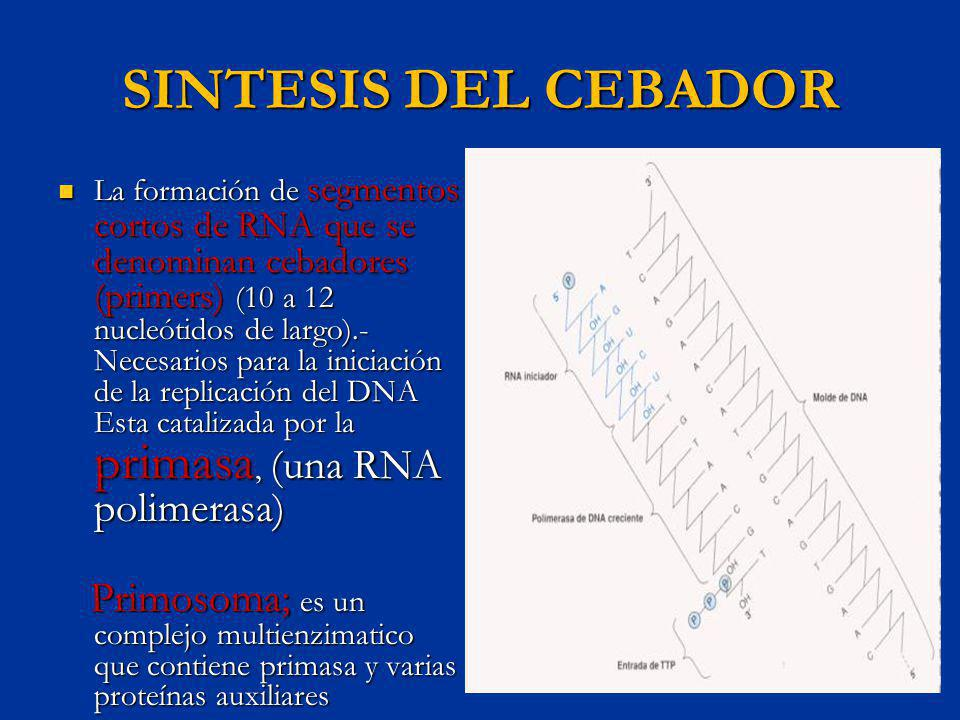 SINTESIS DE DNA Por la formación de enlaces fosfodiester entre los nucleótidos apareados por la base a una cadena molde esta catalizada por grandes complejos enzimáticos ; DNA polimerasas Por la formación de enlaces fosfodiester entre los nucleótidos apareados por la base a una cadena molde esta catalizada por grandes complejos enzimáticos ; DNA polimerasas La DNA polimerasa III es la principal enzima que sintetiza DNA en los procariotas La DNA polimerasa III es la principal enzima que sintetiza DNA en los procariotas La maquina de replicación del DNA ( replisoma); esta formada por dos copias de la holoenzima pol III, el primosoma y las proteínas de denserollamiento del DNA La maquina de replicación del DNA ( replisoma); esta formada por dos copias de la holoenzima pol III, el primosoma y las proteínas de denserollamiento del DNA Participa la DNA polimerasa I; eliminando el oportunamente el RNA cebador durante la replicación Participa la DNA polimerasa I; eliminando el oportunamente el RNA cebador durante la replicación