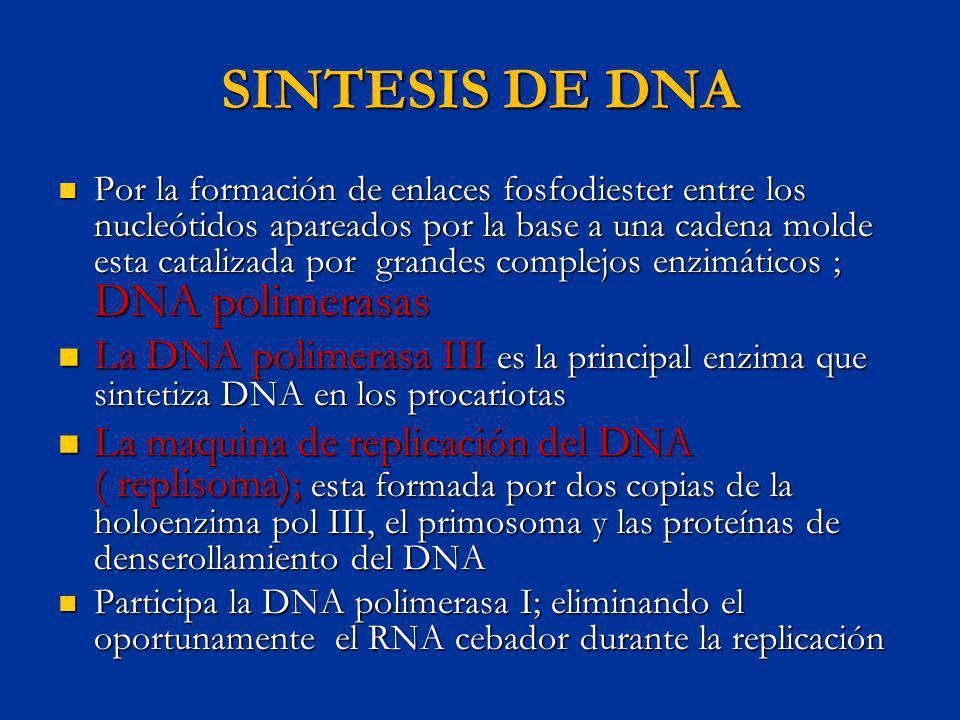 SINTESIS DE DNA Por la formación de enlaces fosfodiester entre los nucleótidos apareados por la base a una cadena molde esta catalizada por grandes co