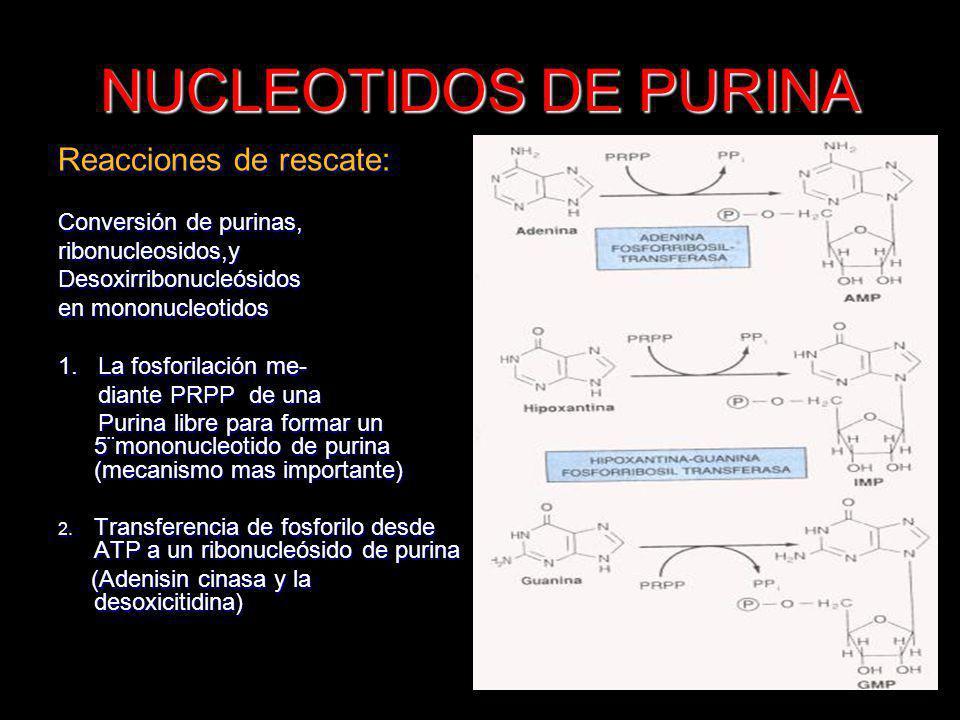 NUCLEOTIDOS DE PURINA Reacciones de rescate: Conversión de purinas, ribonucleosidos,yDesoxirribonucleósidos en mononucleotidos 1. La fosforilación me-