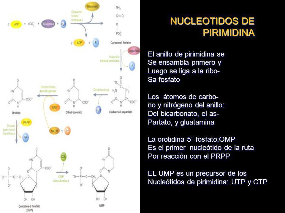 NUCLEOTIDOS DE PIRIMIDINA NUCLEOTIDOS DE PIRIMIDINA El anillo de pirimidina se Se ensambla primero y Luego se liga a la ribo- Sa fosfato Los átomos de