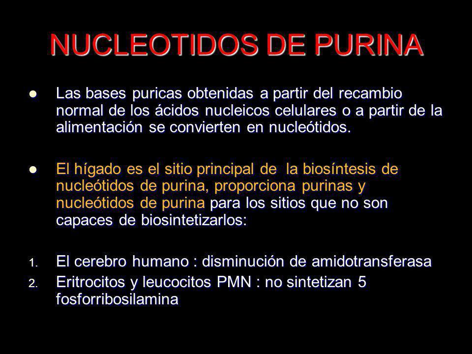 NUCLEOTIDOS DE PURINA Las bases puricas obtenidas a partir del recambio normal de los ácidos nucleicos celulares o a partir de la alimentación se conv