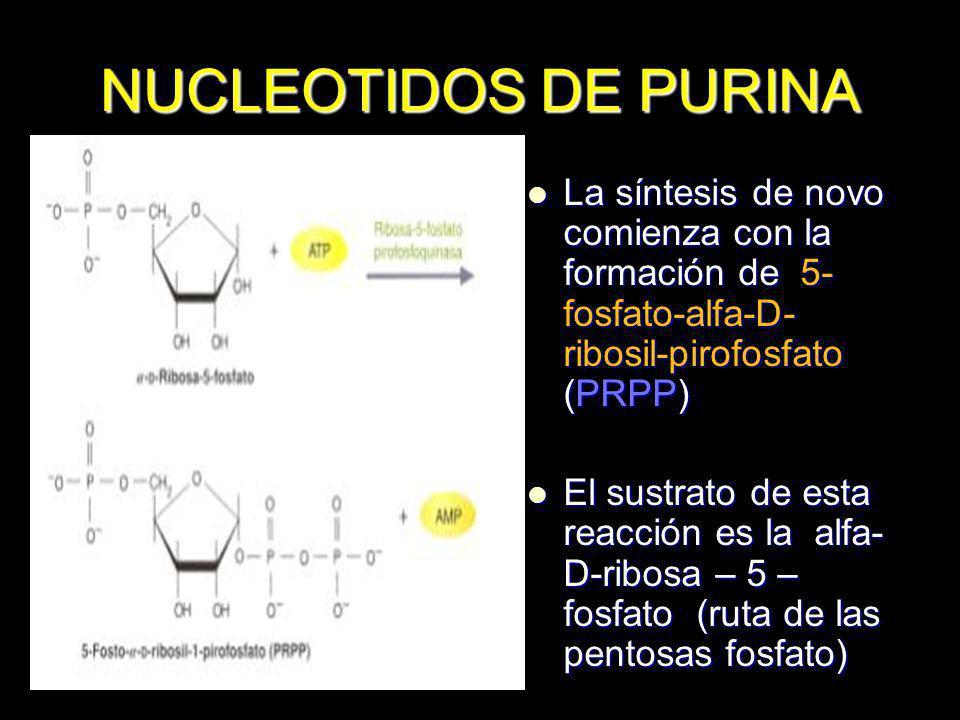 NUCLEOTIDOS DE PURINA El determinante principal de la rapidez de la biosíntesis es la concentración de PRPP El determinante principal de la rapidez de la biosíntesis es la concentración de PRPP La rapidez de síntesis de PRPP depende de la disponibilidad de la ribosa 5-fosfato y de la actividad de la PRPP sintetasa La rapidez de síntesis de PRPP depende de la disponibilidad de la ribosa 5-fosfato y de la actividad de la PRPP sintetasa El PRPP se convierte a inosina monofosfato (inosinato) IMP.-Primer nucleótido de purina El PRPP se convierte a inosina monofosfato (inosinato) IMP.-Primer nucleótido de purina