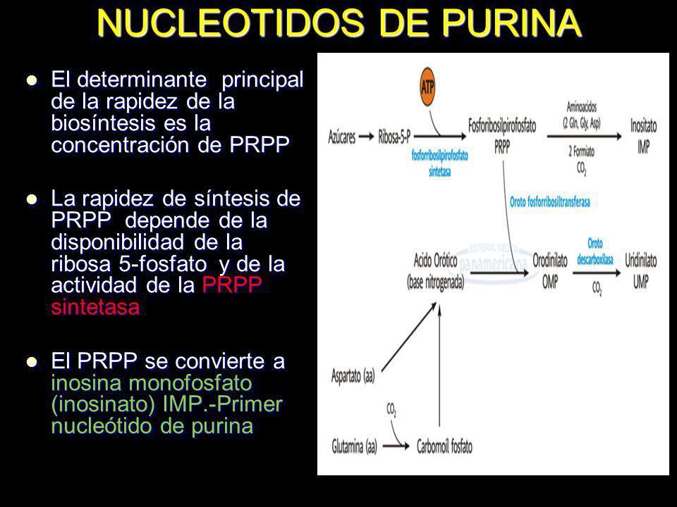 NUCLEOTIDOS DE PURINA El determinante principal de la rapidez de la biosíntesis es la concentración de PRPP El determinante principal de la rapidez de