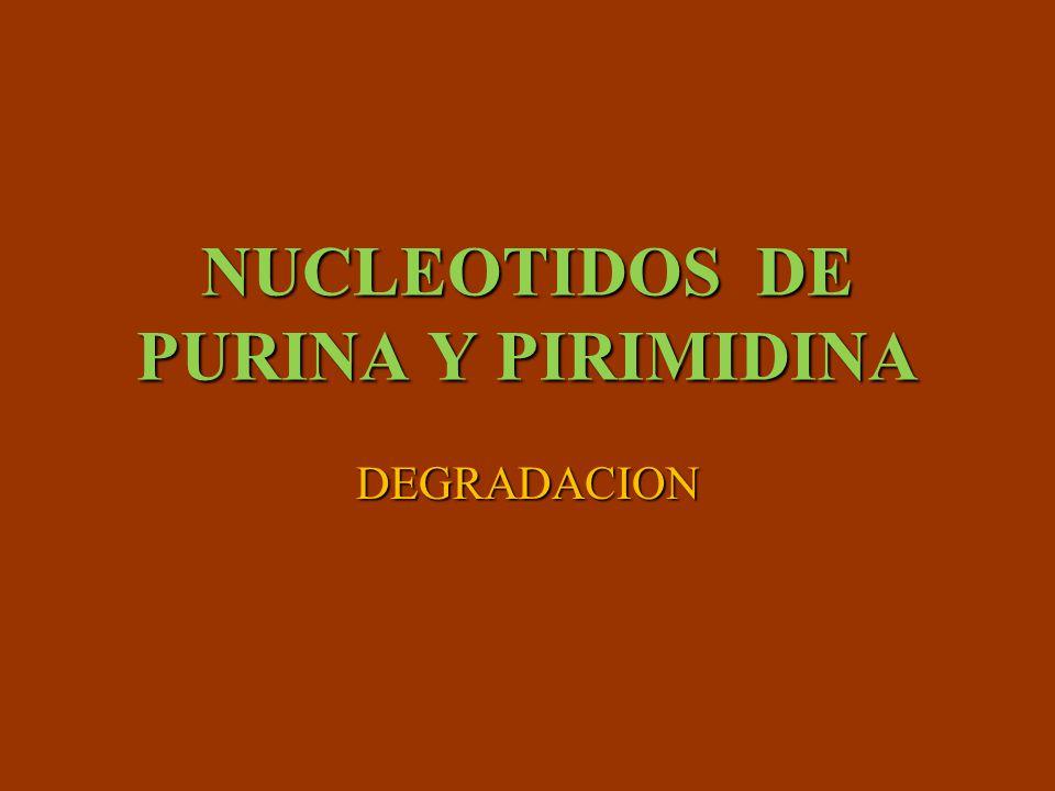 DEGRADACION DE LOS NUCLEOTIDOS Se degradan constantemente Se degradan constantemente Debido al recambio normal de los ácidos nucleicos, nucleótidos y la digestión de ácidos nucleicos de los alimentos Debido al recambio normal de los ácidos nucleicos, nucleótidos y la digestión de ácidos nucleicos de los alimentos Ácidos nucleicos se hidrolizan a oligonucleotidos por enzimas especificas (nucleasas ) Ácidos nucleicos se hidrolizan a oligonucleotidos por enzimas especificas (nucleasas ) Desoxirribonucleasa (DNAsas) Desoxirribonucleasa (DNAsas) Ribonucleasas(RNAsas) Ribonucleasas(RNAsas) Los oliginucleotidos se degradan a mononucleotidos por fosfodiesterasas Los oliginucleotidos se degradan a mononucleotidos por fosfodiesterasas Los mononucleotidos se degradan a nucleósidos por la acción de nucleotidasas Los mononucleotidos se degradan a nucleósidos por la acción de nucleotidasas Los nucleósidos se degradan a bases libres y pentosas por nucleosidasas en la forma que se absorben Los nucleósidos se degradan a bases libres y pentosas por nucleosidasas en la forma que se absorben