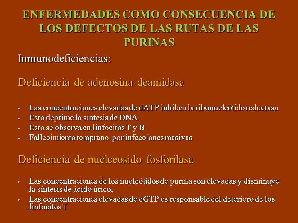 ENFERMEDADES COMO CONSECUENCIA DE LOS DEFECTOS DE LAS RUTAS DE LAS PURINAS Inmunodeficiencias: Deficiencia de adenosina deamidasa Las concentraciones