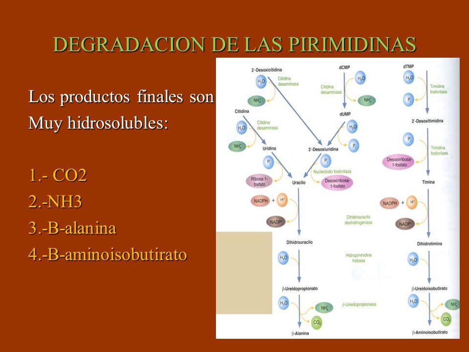 DEGRADACION DE LAS PIRIMIDINAS Los productos finales son Muy hidrosolubles: 1.- CO2 2.-NH33.-B-alanina4.-B-aminoisobutirato
