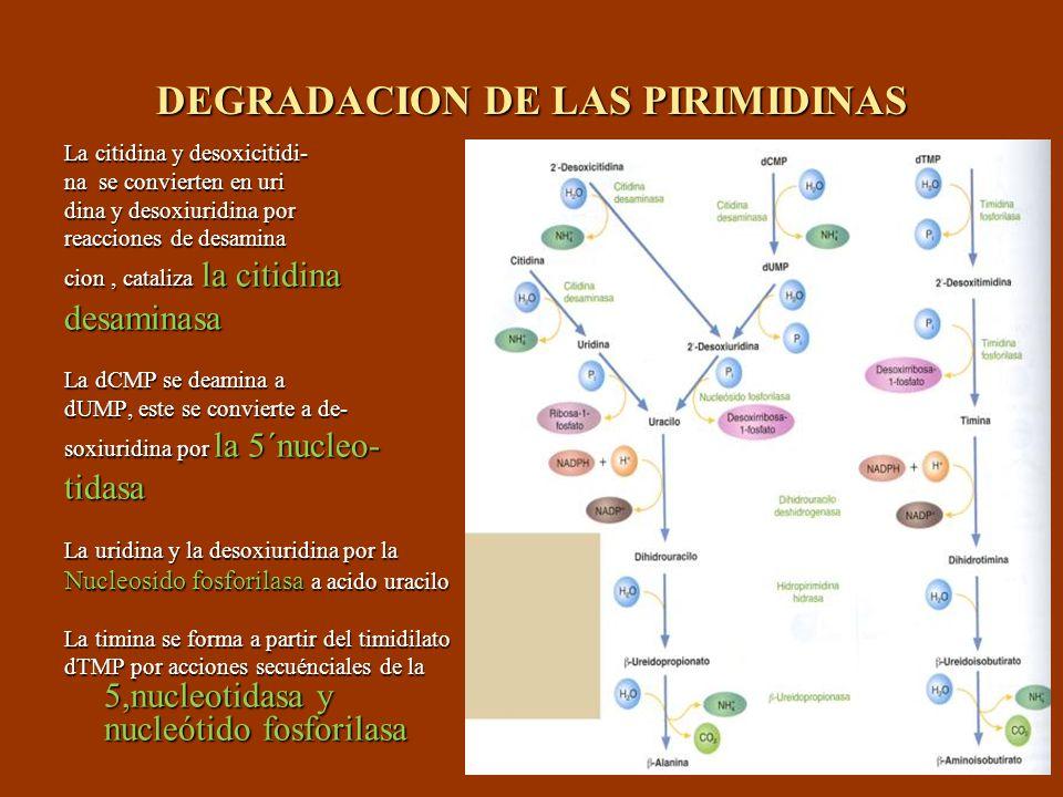 DEGRADACION DE LAS PIRIMIDINAS La citidina y desoxicitidi- na se convierten en uri dina y desoxiuridina por reacciones de desamina cion, cataliza la c