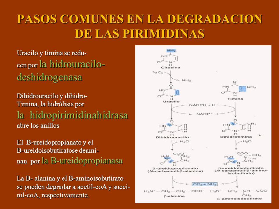 PASOS COMUNES EN LA DEGRADACION DE LAS PIRIMIDINAS Uracilo y timina se redu- cen por la hidrouracilo- deshidrogenasa Dihidrouracilo y dihidro- Timina,