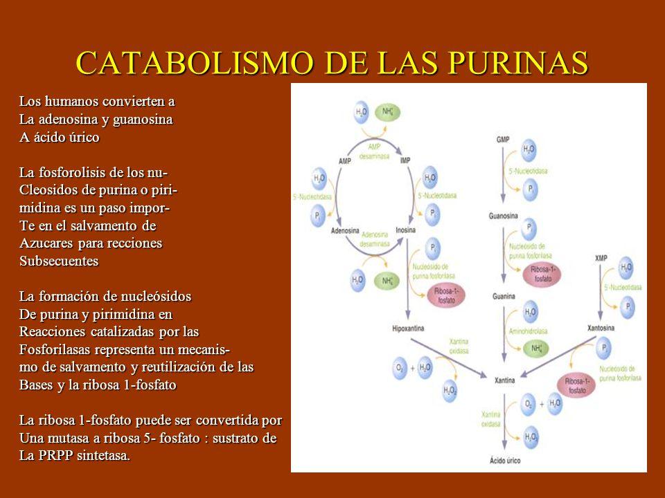 CATABOLISMO DE LAS PURINAS Los humanos convierten a La adenosina y guanosina A ácido úrico La fosforolisis de los nu- Cleosidos de purina o piri- midi
