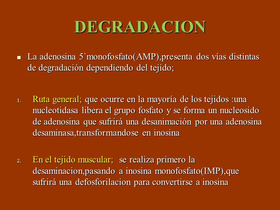 DEGRADACION La adenosina 5`monofosfato(AMP),presenta dos vías distintas de degradación dependiendo del tejido; La adenosina 5`monofosfato(AMP),present
