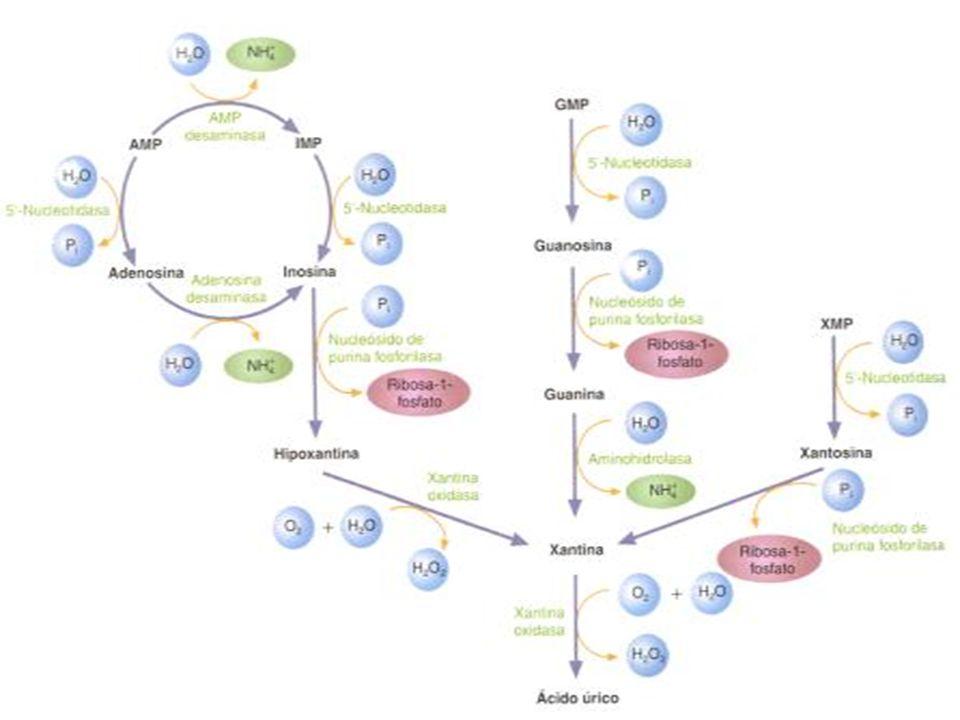 DEGRADACION La inosina, punto de confluencia de ambas vías, perderá el azúcar fosfato(la ribosa)pasando a hipoxantina(purina oxidada libre)que tras una oxidación originara xantina y tras una segunda oxidación originara acido úrico La inosina, punto de confluencia de ambas vías, perderá el azúcar fosfato(la ribosa)pasando a hipoxantina(purina oxidada libre)que tras una oxidación originara xantina y tras una segunda oxidación originara acido úrico La guanosina monofosfato(GMP),se desfosforila pasando a guanosina, esta pierde el azúcar y da guanina, que se desamina originando xantina La guanosina monofosfato(GMP),se desfosforila pasando a guanosina, esta pierde el azúcar y da guanina, que se desamina originando xantina