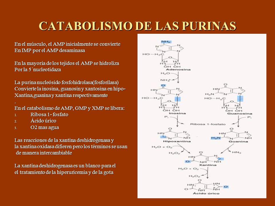 CATABOLISMO DE LAS PURINAS En el músculo, el AMP inicialmente se convierte En IMP por el AMP desaminasa En la mayoría de los tejidos el AMP se hidroli