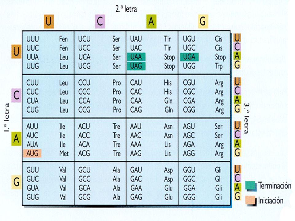 CODIGO GENETICO Para la síntesis del complemento celular de proteínas se requiere de 20 diferentes aminoácidos Para la síntesis del complemento celular de proteínas se requiere de 20 diferentes aminoácidos Debe haber 20 codones distintos que constituyen el código genético Debe haber 20 codones distintos que constituyen el código genético Solo existen cuatro nucleótidos diferentes en el mRNA, cada codon incluye mas de un nucleótido de purina o de pirimidina Solo existen cuatro nucleótidos diferentes en el mRNA, cada codon incluye mas de un nucleótido de purina o de pirimidina Codones de tres nucleótidos : 64 codones específicos Codones de tres nucleótidos : 64 codones específicos Código genético : código de tripletes Código genético : código de tripletes